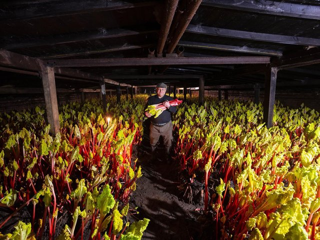 Wakefield farmer,,Jonathan Westwood's great-great-uncle started the tradition of harvesting 'force-farmed' rhubarb this way in 1870. (SWNS)
