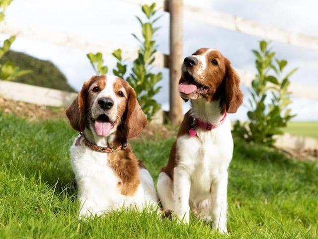 Les allégations d'intoxication au chocolat chez les chiens augmentent de 235% pendant la période de Pâques