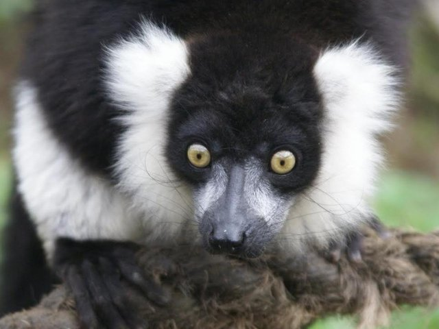 Visitors can get up close and personal with the animals when Ponderosa Zoo reopens on April 12, thanks to their new Lemur Walkthrough exhibit that gives visitors the opportunity to get an unrestricted view of these fascinating animals.