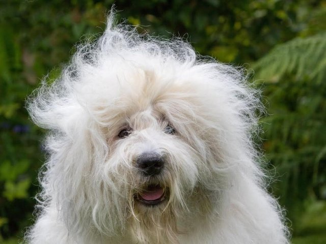 One of Britain's most recognisable dog breeds, the Old English Sheepdog, has been classed as vulnerable by The Kennel Club.