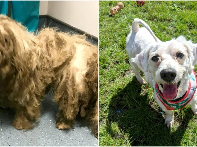 These adorable before and after pictures show the remarkable recovery of a terrier whose fur was so matted he couldn't see or move.