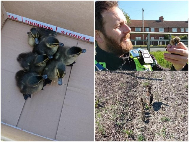 Police in Castleford had an unusual story to tell this week, when they rescued a family of ducklings who had become trapped in a drain. Photos: West Yorkshire Police