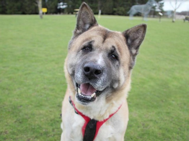 The team are hoping Kumar will find a new home quickly as he is an older gentleman and has spent most of his life in a family home, so he has been struggling to adjust to kennel life.