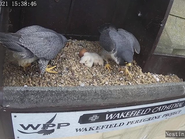 The city's peregrine falcons have welcomed four new chicks in recent weeks, much to the delight of thousands of followers who track the birds' every move through a livestream on YouTube. Photo: Wakefield Peregrines/YouTube