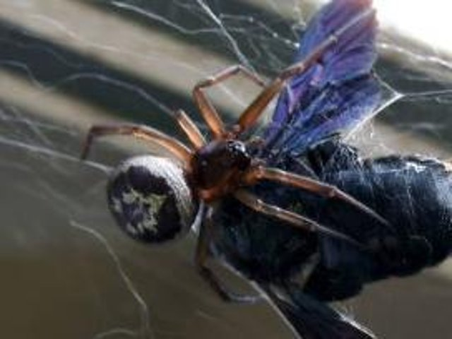 A surge in spider bites from noble black widow spiders have been reported across the UK, which in some cases cause severe side-effects.