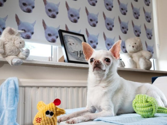 A Wakefield dog owner has been fondly nicknamed 'Chihuahua Man' after dedicating a room in his home to his pet chihuahua, Wolf.